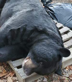 700 Pound Black Bear Shot In New Jersey